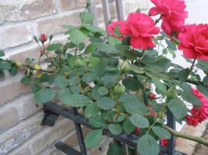 climbing roses blooms detail