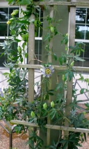 passion flower vine with bloom